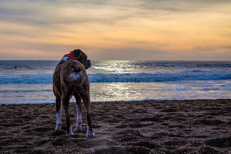 Perro en la playa foto de archivo libre de regalías