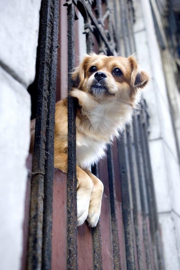 Perro en la ventana - La Habana, Cuba fotografía de archivo