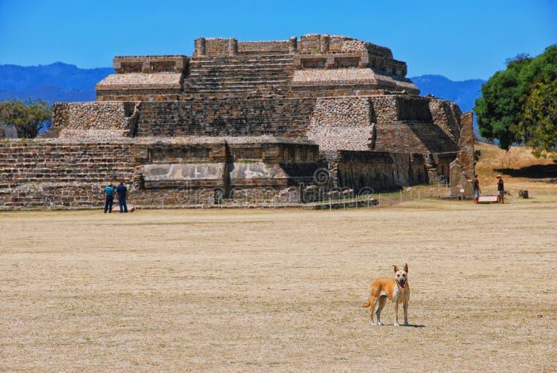 Perro en Monte Alban Ruins en Oaxaca, México fotos de archivo