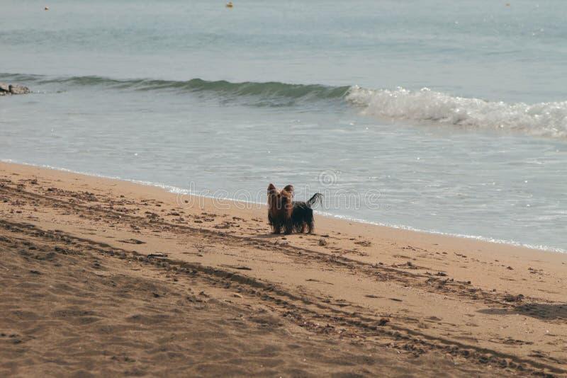 Perro en paseo en la playa del otoño Santa Marinella, Italia imagen de archivo libre de regalías