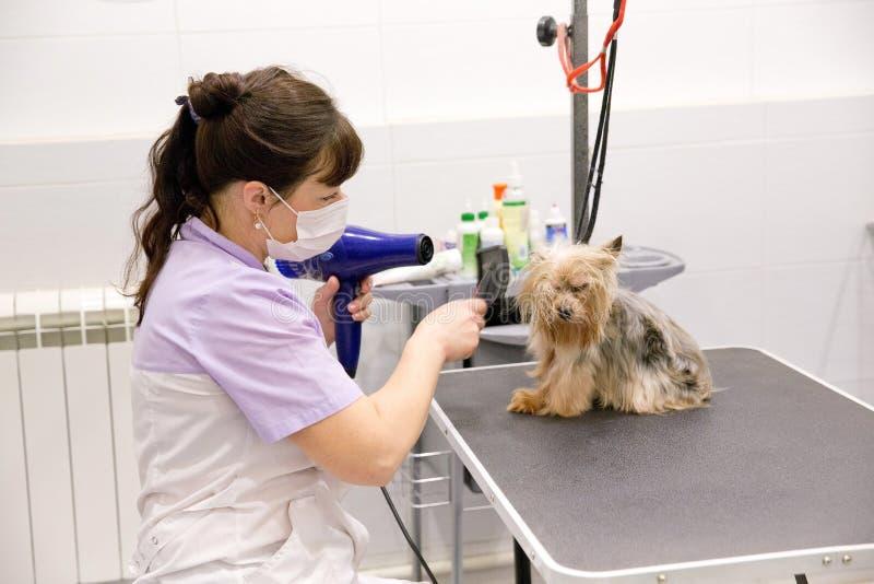 Perro en salón de la preparación del animal doméstico imágenes de archivo libres de regalías
