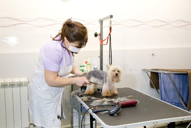 Perro en salón de la preparación del animal doméstico foto de archivo