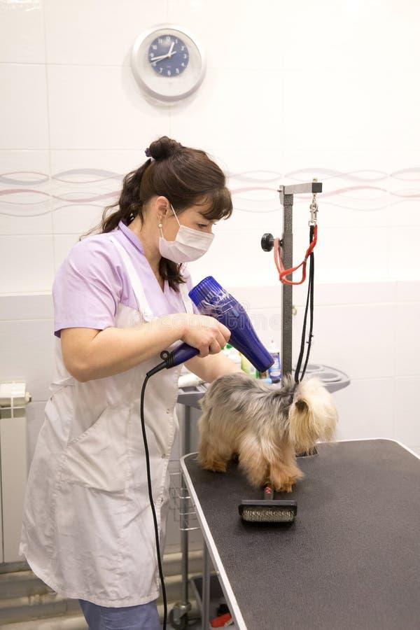 Perro en salón de la preparación del animal doméstico fotos de archivo libres de regalías