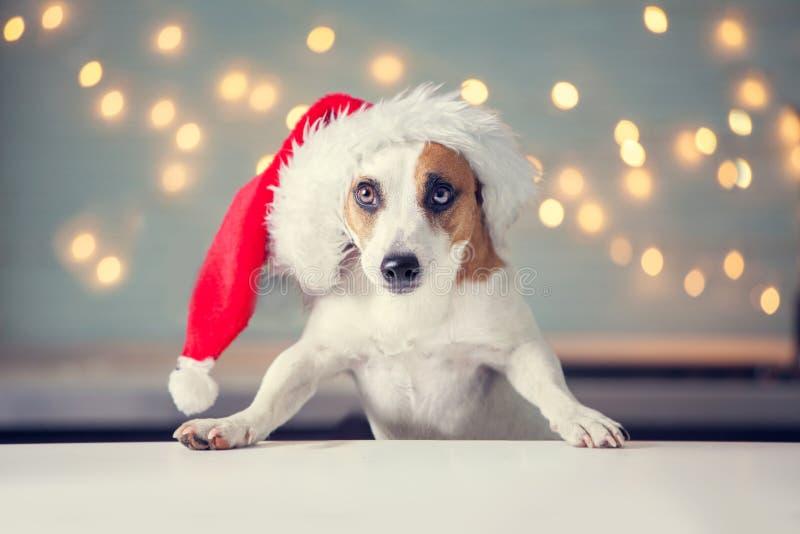 Perro en sombrero de la Navidad imagenes de archivo