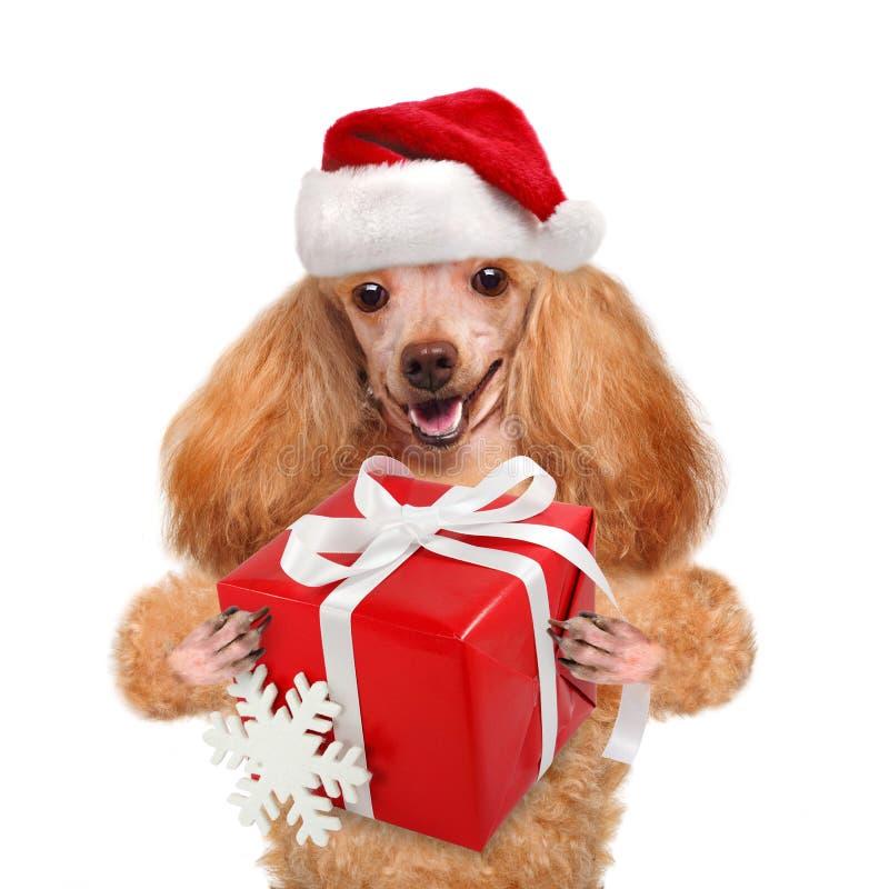 Perro en sombreros rojos de la Navidad con el regalo imagenes de archivo