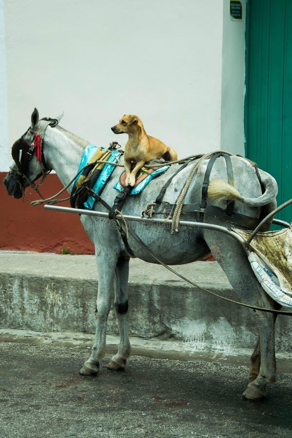 Perro en un caballo fotos de archivo libres de regalías