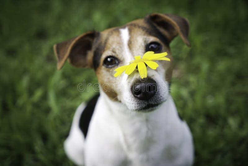 Perro en un fondo verde con una flor amarilla en la nariz imágenes de archivo libres de regalías