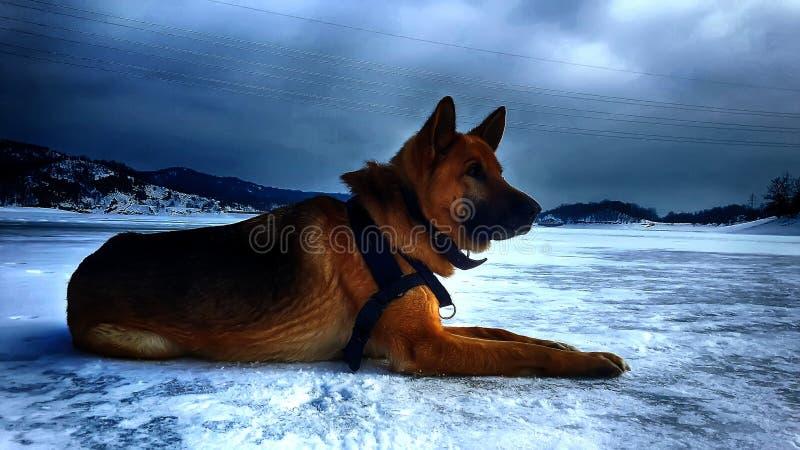 Perro en un lago congelado fotos de archivo