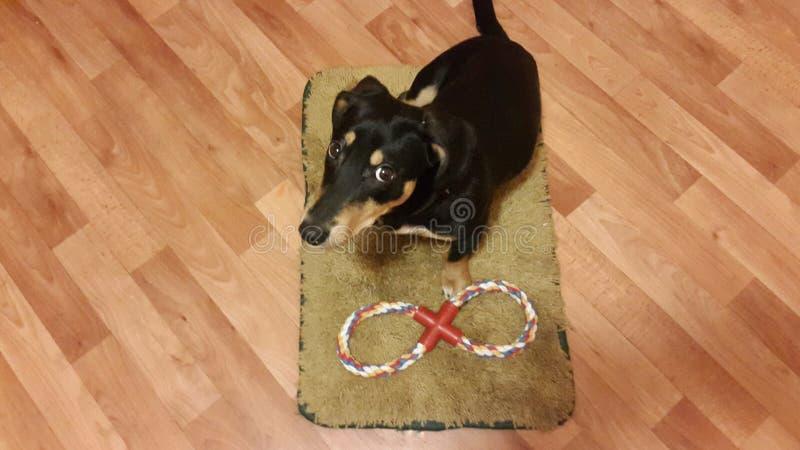 Perro en una alfombra imagenes de archivo