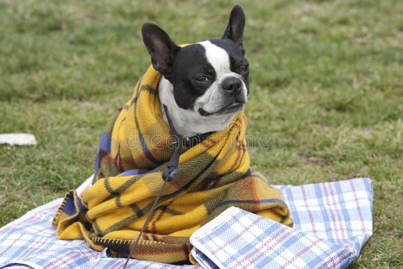 Perro en una manta fotos de archivo libres de regalías