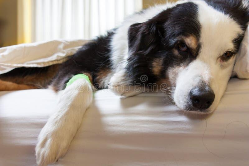 Perro enfermo con el vendaje en su pierna imagenes de archivo