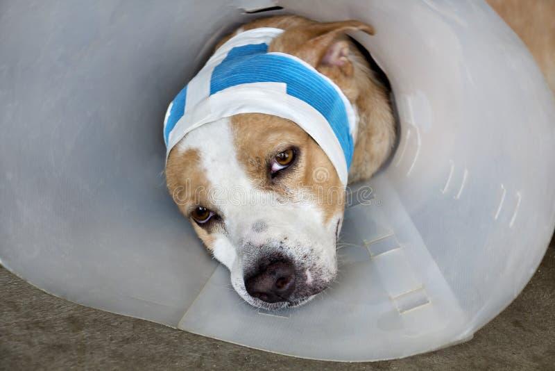 Perro enfermo con los vendajes que mienten y que llevan un cuello del embudo fotos de archivo libres de regalías