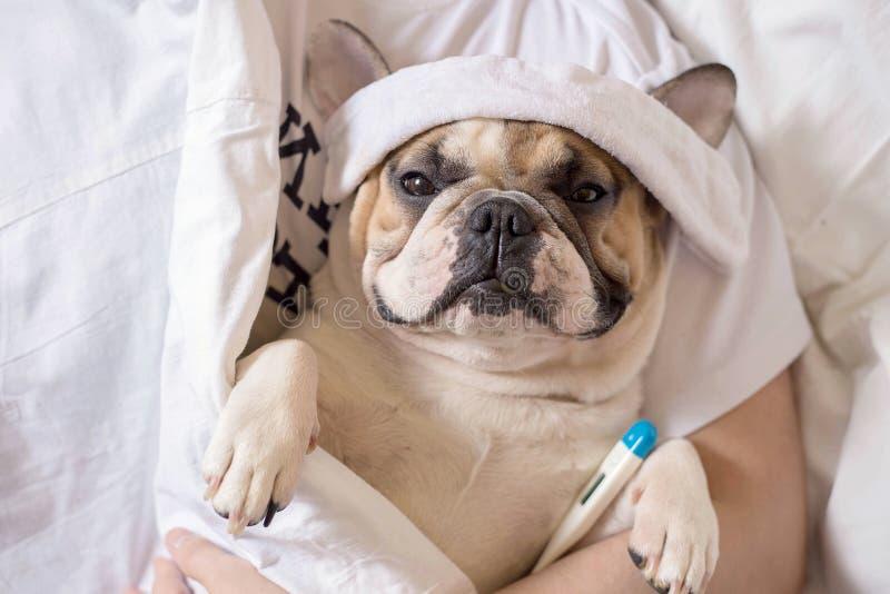 Perro enfermo del dogo francés con dolor de cabeza en la reclinación de la cama fotografía de archivo