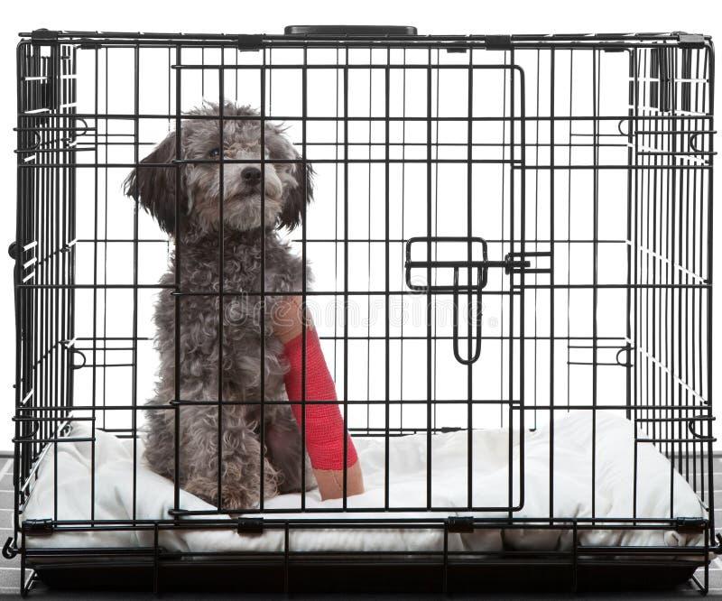 Perro enjaulado con la pierna quebrada imagen de archivo libre de regalías