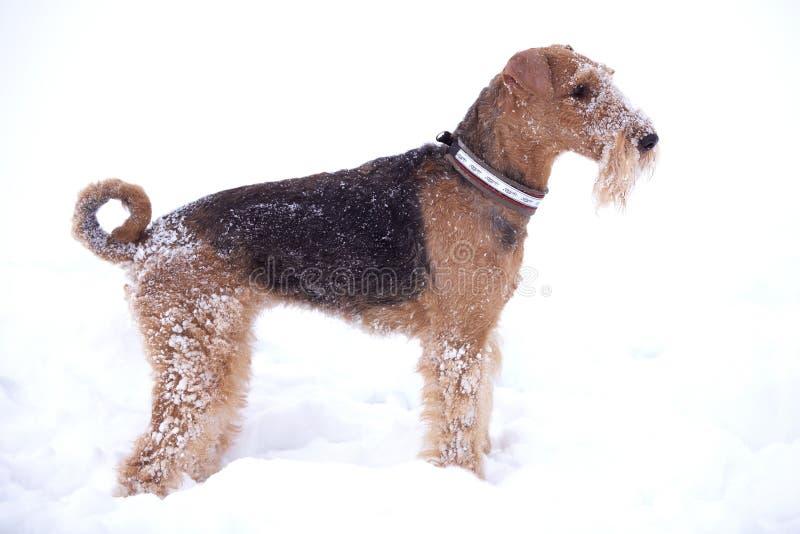 Perro escarchado del terrier del Airedale fotografía de archivo libre de regalías