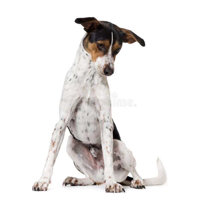 Perro español Ratonero Bodeguero Andaluz, aislado foto de archivo libre de regalías