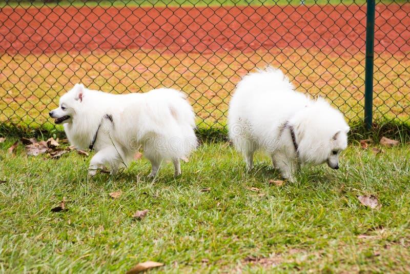 Perro esquimal americano dos imágenes de archivo libres de regalías
