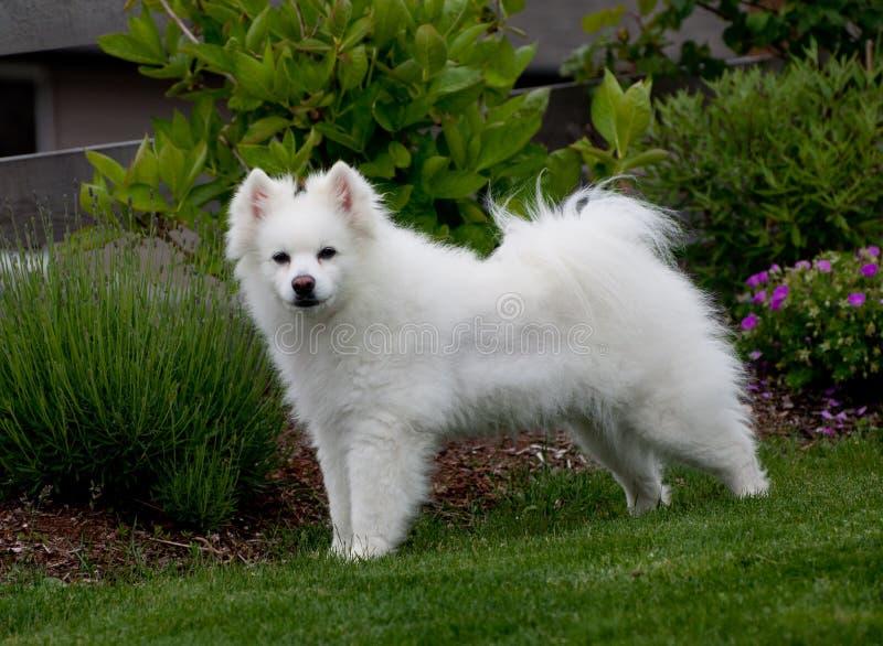 Perro esquimal blanco de la raza foto de archivo libre de regalías