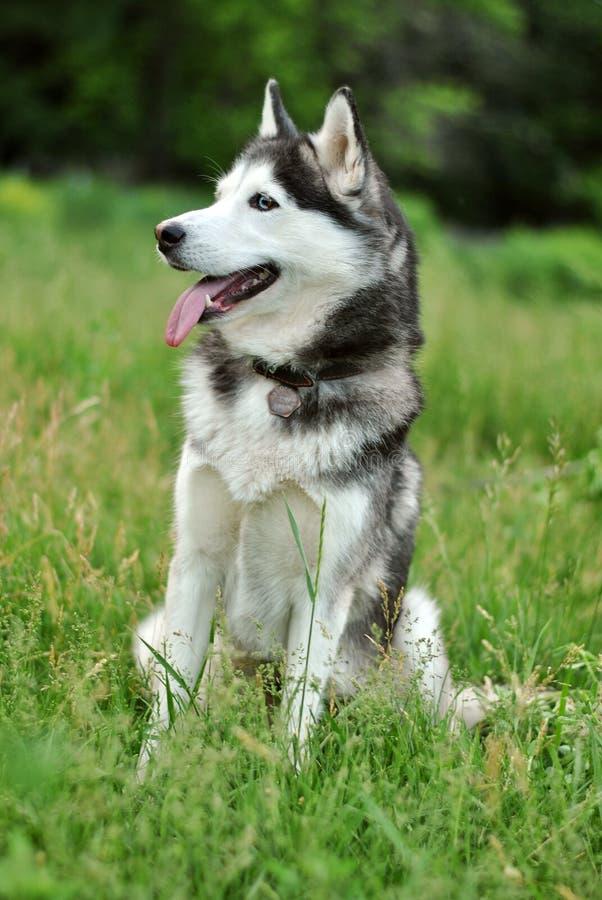 Perro esquimal blanco y negro fotografía de archivo