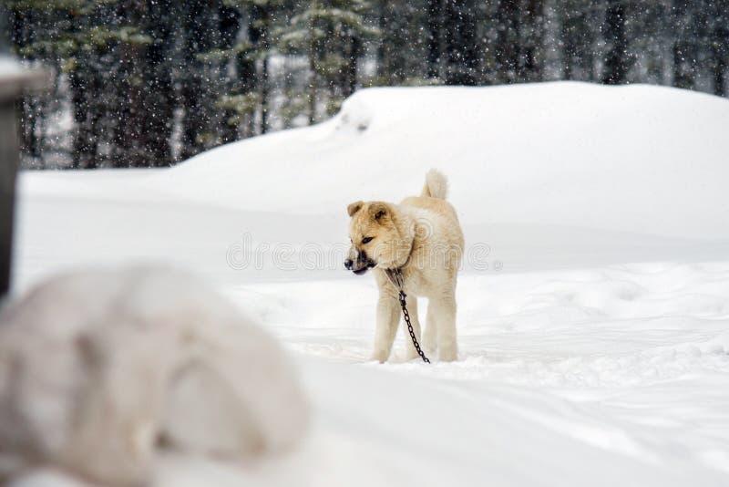 Perro esquimal del perrito en el invierno imágenes de archivo libres de regalías