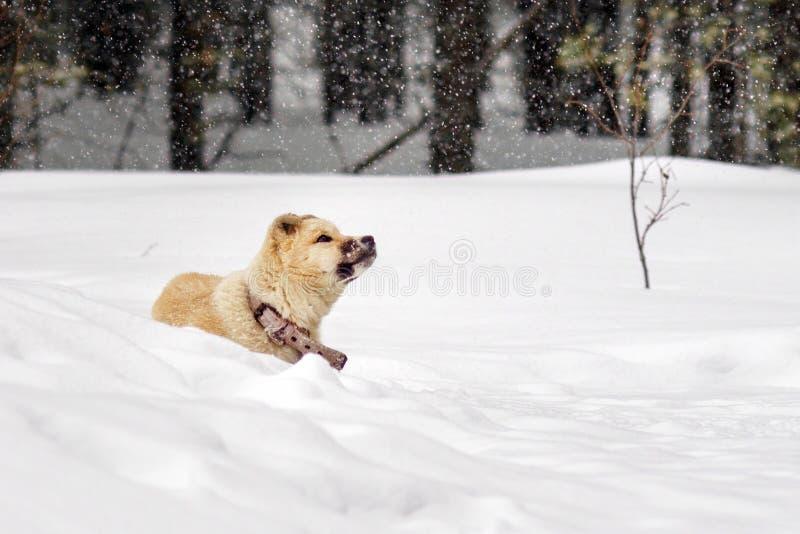 Perro esquimal del perrito en el invierno fotos de archivo
