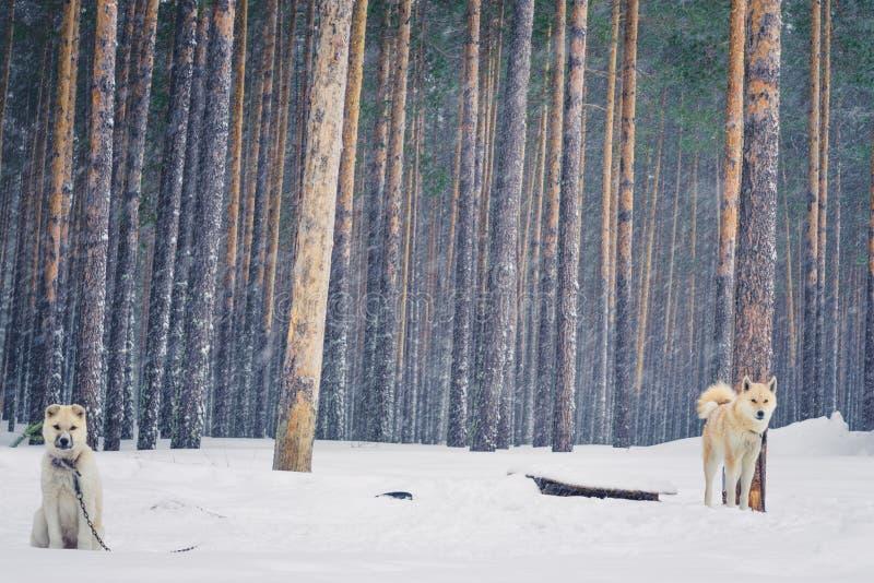 Perro esquimal del perrito en el invierno fotos de archivo libres de regalías