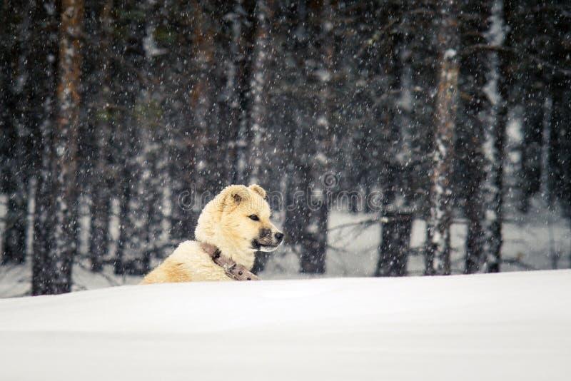 Perro esquimal del perrito en el invierno fotografía de archivo libre de regalías