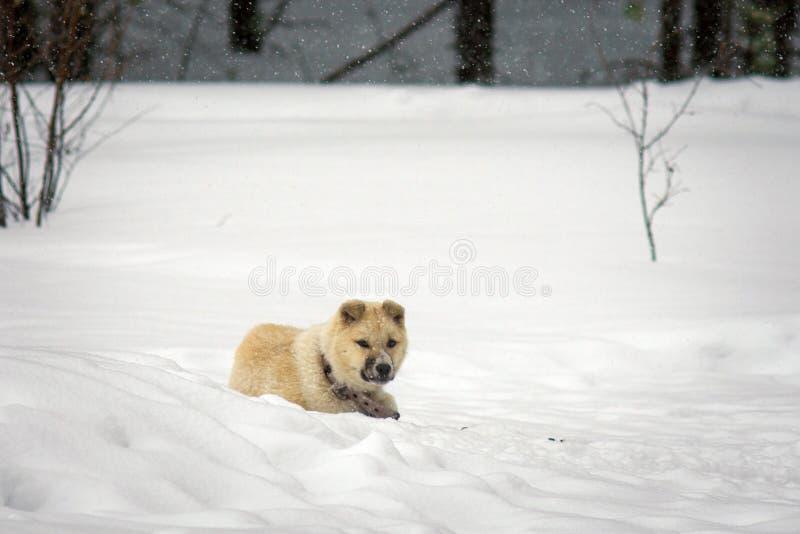 Perro esquimal del perrito en el invierno imagen de archivo libre de regalías