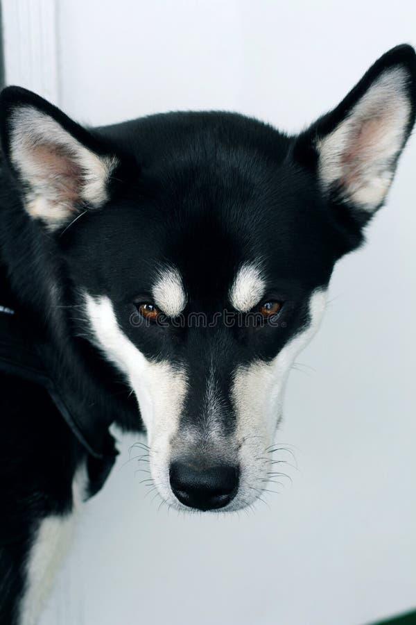 Perro esquimal del perro imagen de archivo libre de regalías