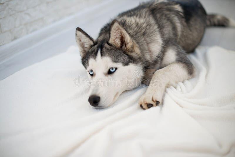Perro esquimal en el piso blanco foto de archivo libre de regalías