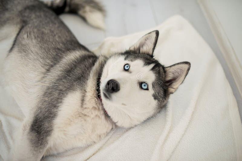 Perro esquimal en el piso blanco imágenes de archivo libres de regalías