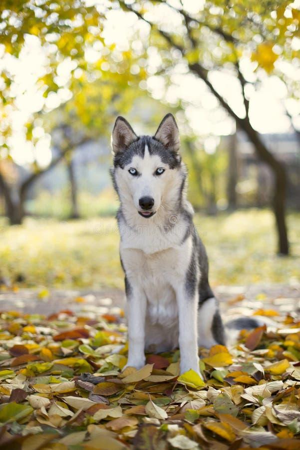 Perro esquimal en jardín del otoño fotos de archivo libres de regalías