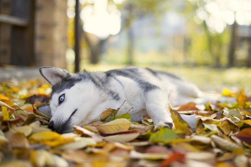 Perro esquimal en jardín del otoño imagen de archivo libre de regalías