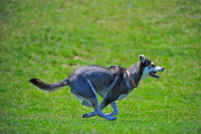 Perro esquimal en la corrida imágenes de archivo libres de regalías