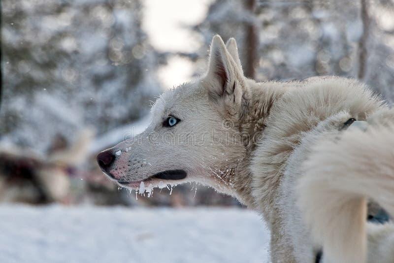 Perro esquimal en la nieve fotos de archivo libres de regalías