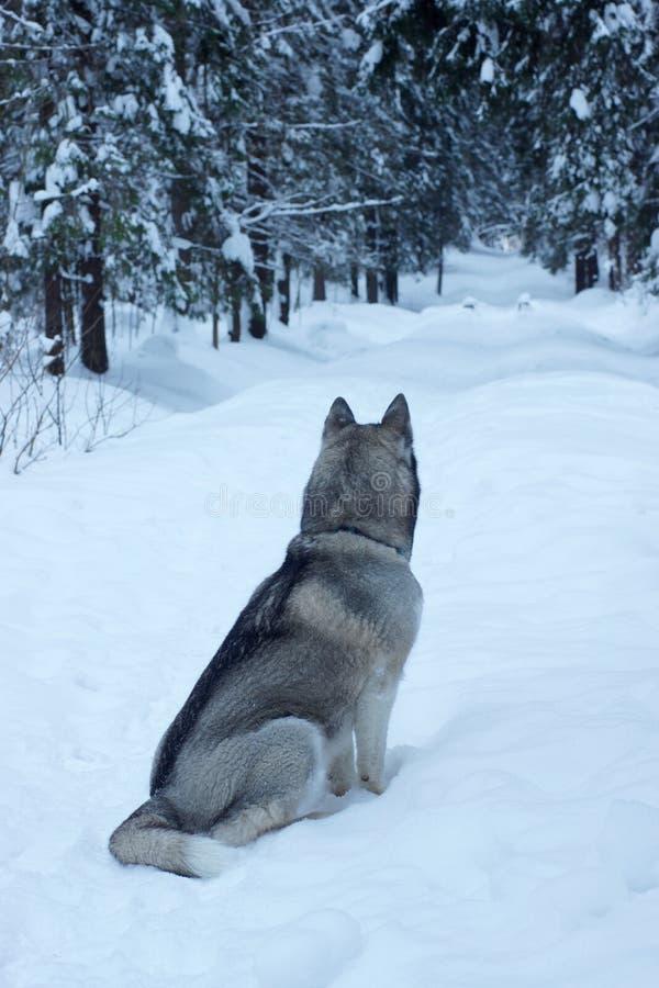 Perro esquimal gris de la raza del perro que se sienta en un sendero en un parque nevoso por la mañana y que mira en la distancia imagenes de archivo