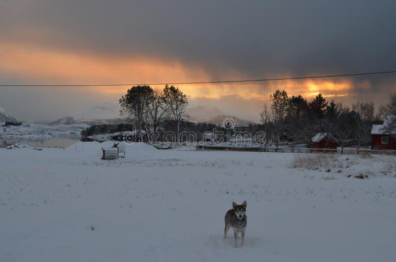 Perro esquimal que goza de la nieve fotos de archivo