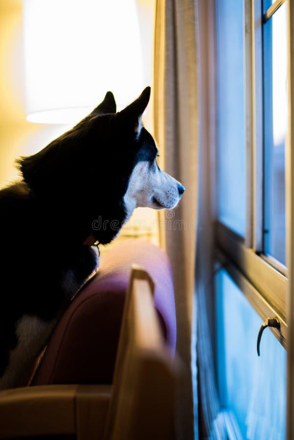 Perro esquimal que mira hacia fuera la ventana imágenes de archivo libres de regalías