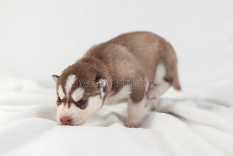 Perro esquimal rojo del perrito solamente siberiano imagenes de archivo