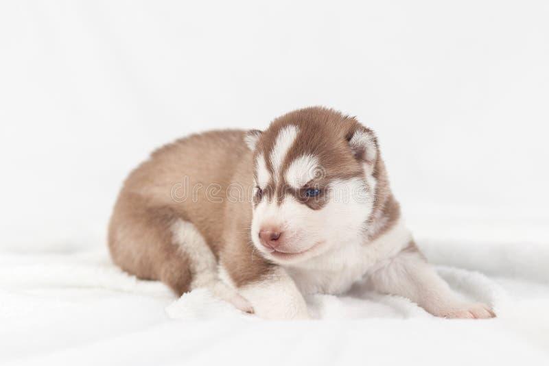 Perro esquimal rojo del perrito solamente siberiano fotografía de archivo libre de regalías