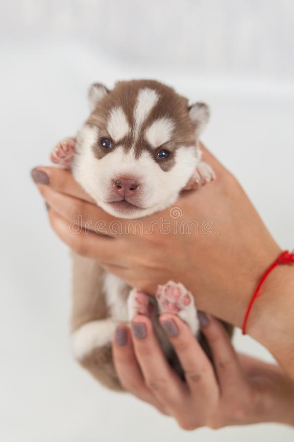 Perro esquimal rojo del perrito solamente siberiano imágenes de archivo libres de regalías
