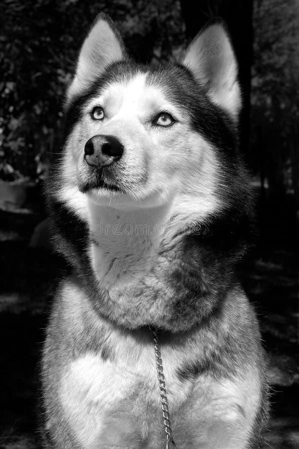 Perro esquimal siberiano fotografía de archivo libre de regalías