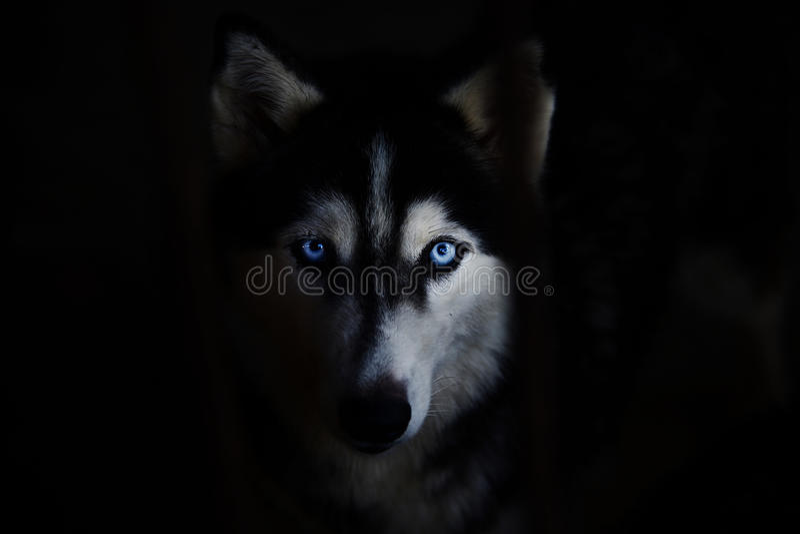 Perro esquimal siberiano imagen de archivo libre de regalías