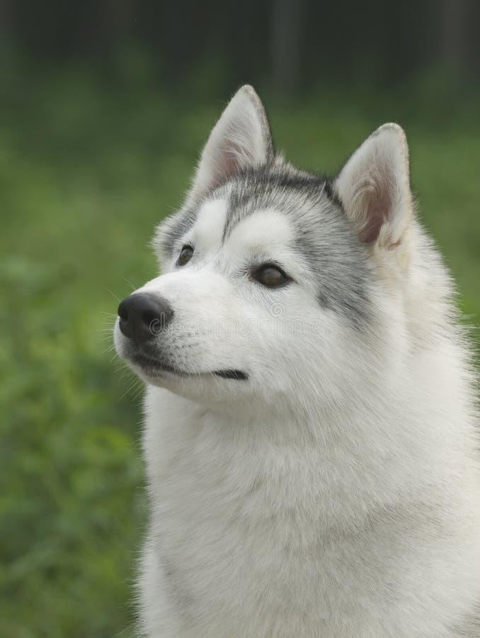 Perro esquimal siberiano imagenes de archivo
