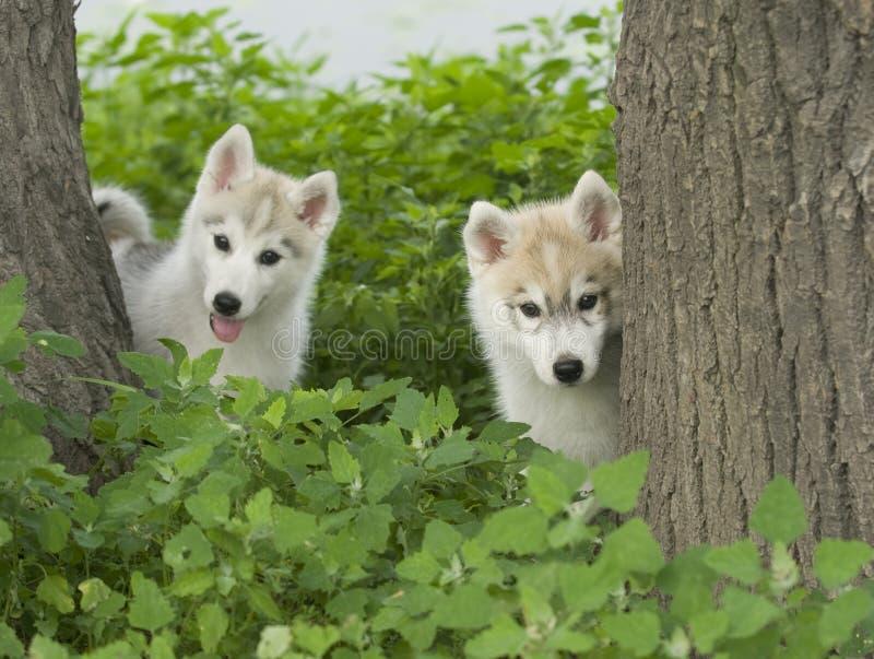 Download Perro esquimal siberiano foto de archivo. Imagen de canino - 6788366