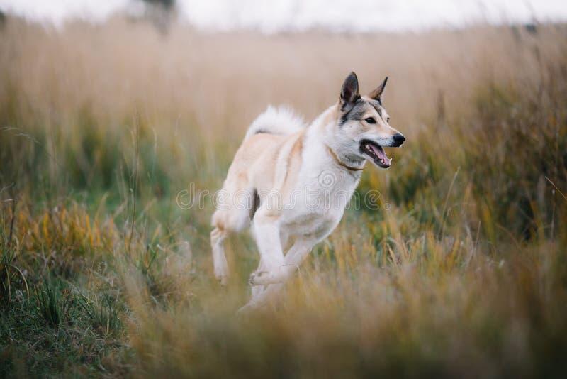 Perro esquimal siberiano del oeste corriente del laika fotografía de archivo