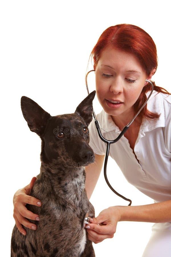 Perro examing veterinario femenino foto de archivo