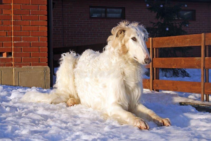 Perro excelente del galgo ruso imágenes de archivo libres de regalías