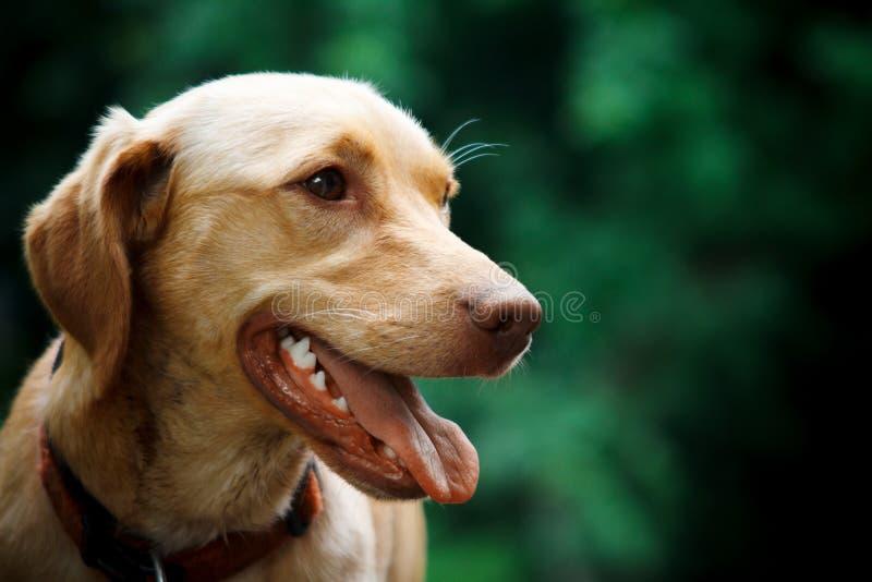Perro feliz con la lengua hacia fuera foto de archivo libre de regalías