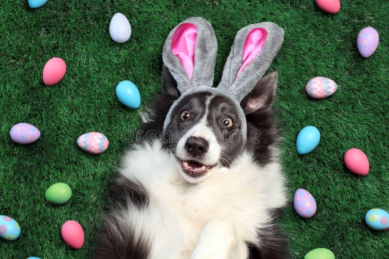 Perro feliz con los oídos del conejito rodeados por los huevos de Pascua imagenes de archivo